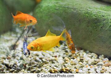 Four small fish, two of which are bright yellow color,...
