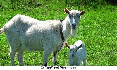 goat on a grass