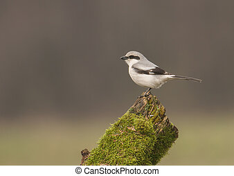 Northern Shrike, a.k.a. the Butcher Bird, Lanius excubitor,...