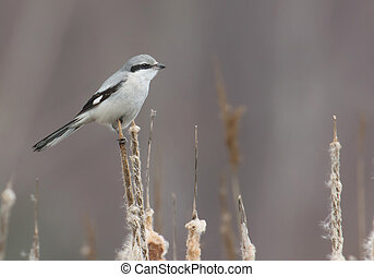 Northern Shrike, the Butcher Bird, Lanius excubitor, Great...