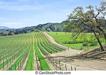 Yineyard and Oaks - A vineyard landscape near Santa Ynez,...