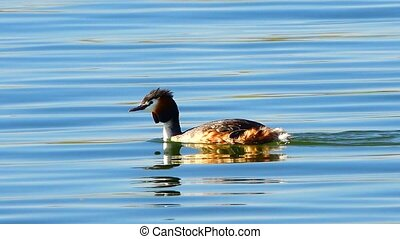 Great Crested Grebe(Podiceps cristatus)