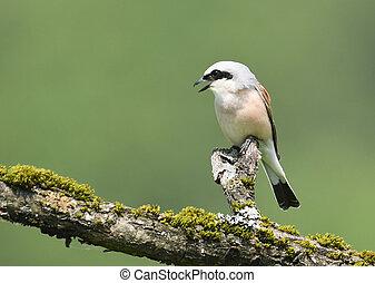 Red-backed Shrike Lanius collurio - Red-backed Shrike-...