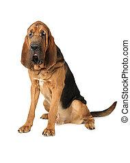 Purebred Bloodhound dog