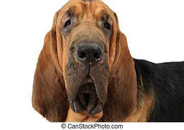 Portrait of Bloodhound dog