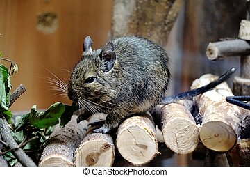 Caged Degu eating leafs - Photo of a caged Degu eating leafs