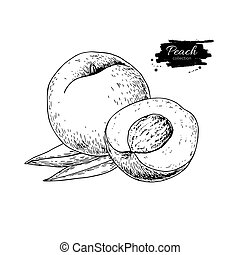 Peach vector drawing. Isolated hand drawn peach and sliced...