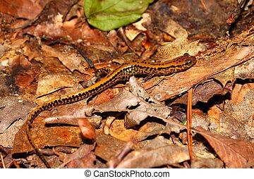 Long-tailed Salamander (Eurycea longicauda)