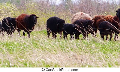 A herd of sheep go on a meadow - A herd of sheep go on a...