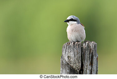 Red-backed Shrike- (Lanius collurio)