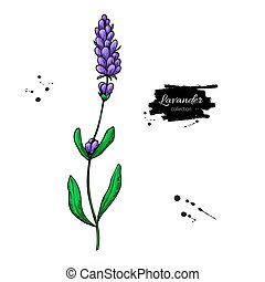 Lavender vector drawing set. Isolated wild flower and...