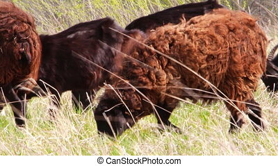 Sheep grazing on meadow. - Sheep grazing on forest meadow.