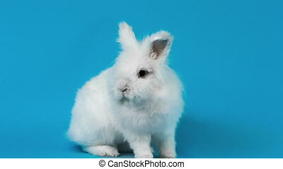 Video of white rabbit on blue screen - Video of small white...