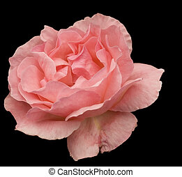 pink rose flower blossom isolated on black