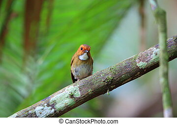 Rufous-browed flycatcher (Anthipes solitaris) in Sumatra,...