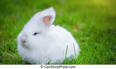 Video of white rabbit outdoors - Video of small white rabbit...