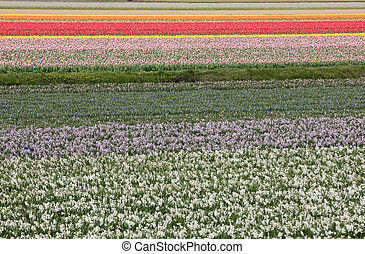 Tulip and hyacinth fields of the Bollenstreek, South...