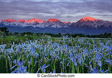 Wild Iris Flowers With Sunrise Mountains - wild iris flowers...