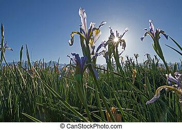Sunflare Behind Wild Iris Flower - sunflare behind wild iris...