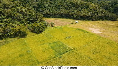Aerial view of a rice field. Philippines - Rice field with...