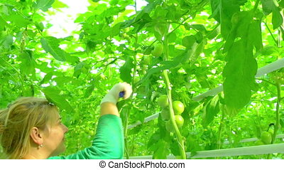 female worker in greenhouse gathering tomatoes
