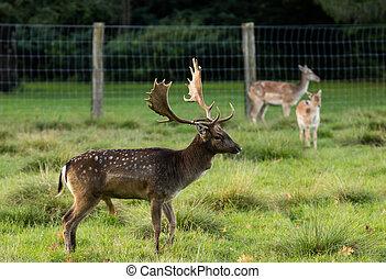 Buck Fallow Deer