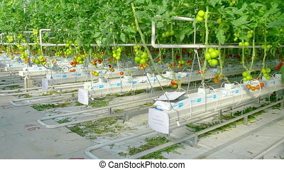 Rows of green tomato hydroponic plants
