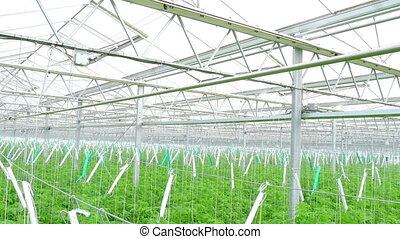Rows of tomato hydroponic plants