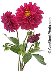 dahlia - Studio Shot of Purple Colored Dahlia Bouquet...