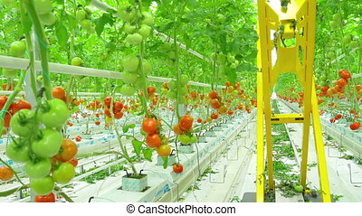 Ripe natural tomatoes growing on a branch in greenhouse