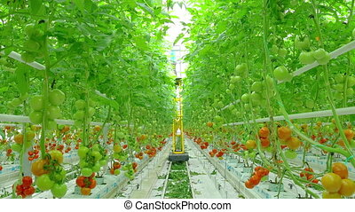 red tomato hydroponic plants in greenhouse