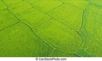 Close Aerial View of Green Rice Fields Vy Road - closeup...