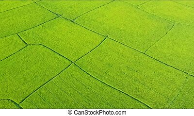 Drone Flies Closely Over Green Rice Field Plots - aerial...