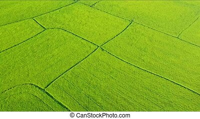 Drone Approaches Closely to Green Rice Field Grounds - drone...