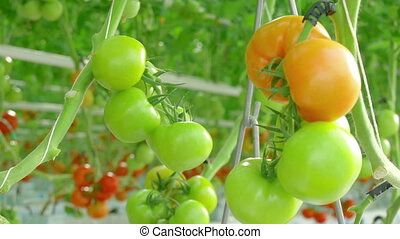 tomato hydroponic plants in greenhouse