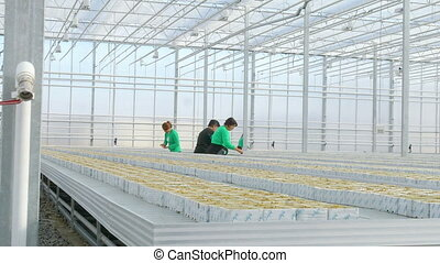 Female workers seeding tomato hybrid seeds in greenhouse