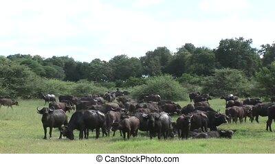 Wild Buffalo in African Kenya savannah Africa - Kenya...