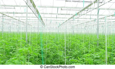 Rows of tomato hydroponic plants in greenhouse