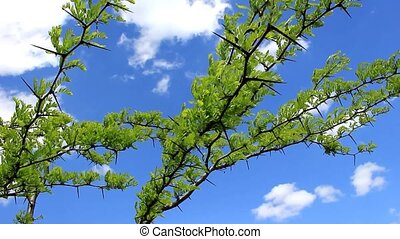 Spikes of acacia against the sky - Young shoots of leaves...