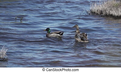 Male duck stands and flaps wings behind female - Super slow...