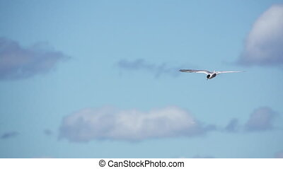 Common Tern (Sterna hirundo hirundo) flying against clouds,...