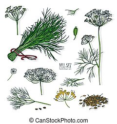 Dill set. Hand drawn colorful collection with greens, bunch, branch, flower, inflorescence, seeds. Vector illustration on white background.