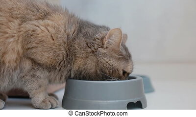 Domestic grey cat drinking water from the bowl