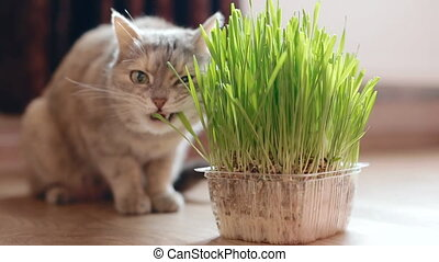 Grey cat eating grass sitting on the window sill