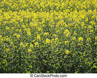 Blooming rape field filling - Format-filling view on a...