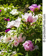 Peonies. Flowers peonies. Flowering bush of pink tree peony