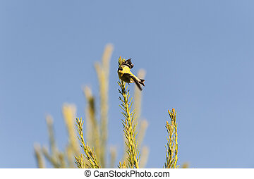 American Goldfinch eye contact - Male American Goldfinch...