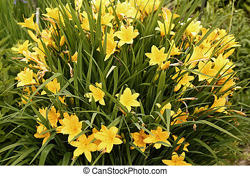 yellow lily flowers in the garden on flower bed outdoor...