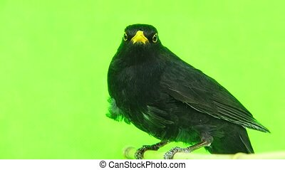 blackbird (Turdus merula) isolated on a green background