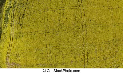 The drone rolling up on the yellow field with rapeseed